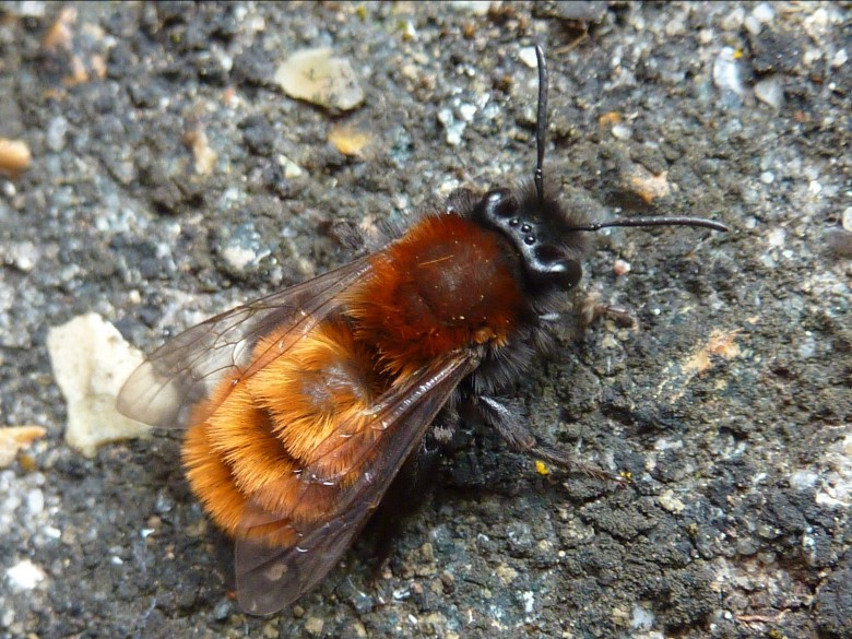 What Are Mining Bees And Do They Sting?